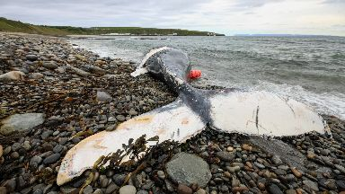 The whale washed ashore near Caithness.