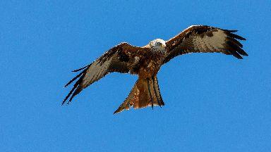 Investigation: Three red kites were found dead.