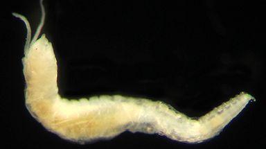 Worm: New species found during survey.