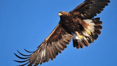 Missing: Golden eagles.