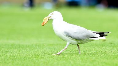 Seagulls have set their sights on football fans' food.