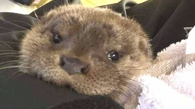 Recuperating: The otter will be released back into the wild.