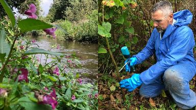 Clean-up: Volunteers have been clearing dense patches along the River Tay through the summer.