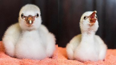 Chick: The little flamingo was just 52g.