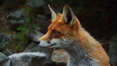 Consultation: Calls made to protect foxes and hares.