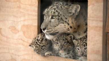 Family: The seven-week-old cubs are still being nursed by mother Animesh.