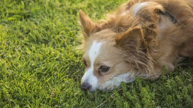Breed: The long-haired chihuahua was similar to the dog pictured.