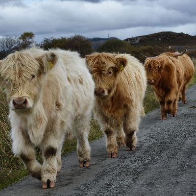 Highland cows block the road in Duirinish.