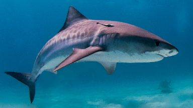 Tiger shark: A man is feared to have been killed.