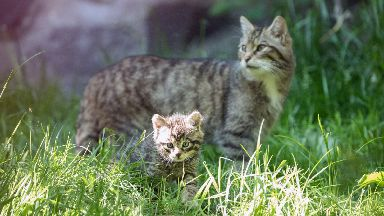 Wildcats are under threat from extinction.