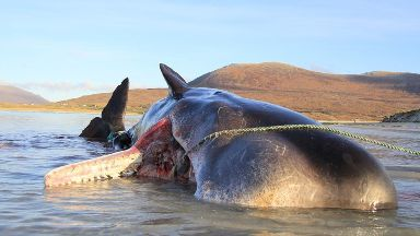 Sperm whale: The mammal had 100kg of litter in its stomach