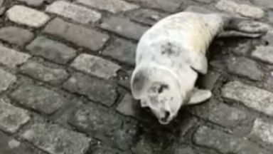 Stranded: The seal pup was found in a car park