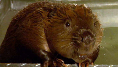 Wild Beavers: Around 100 thought to have escaped or been released.