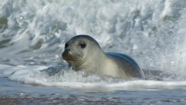 Seal approved: A grey seal similar to Holly, who was restored to health in Oban.