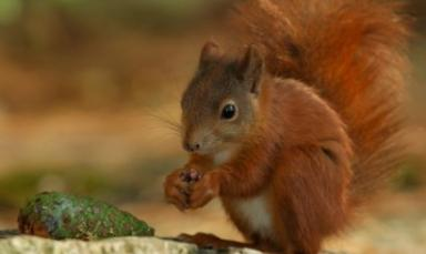 Red squirrels: reintroduced to Highland forest.