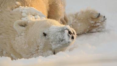 UK's only polar bear enjoys snowfall