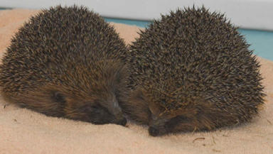 Chubby: SSPCA staff are delighted with the hedgehogs' new slimline look.
