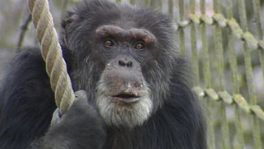 Study: Chimps appeared to comfort dying ape