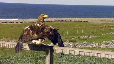 Sea Eagle: Injured bird released back into the wild on Lewis.