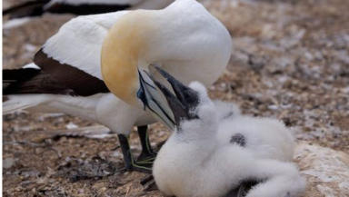 Baby gannets: traditionally killed on the Isle of Lewis