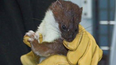 Orkney Stoat: found and returned