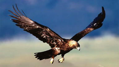 Legislation: Bill provides greater protection for birds of prey, such as the Golden Eagle.