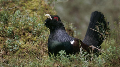 Capercaillie numbers peaked at around 20,000.