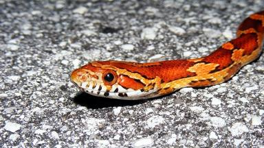 Corn snake: The reptile went missing in West Lothian