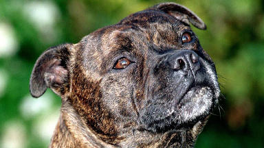 Staffordshire terrier: The breed of dog which allegdly attacked two people. (File pic)