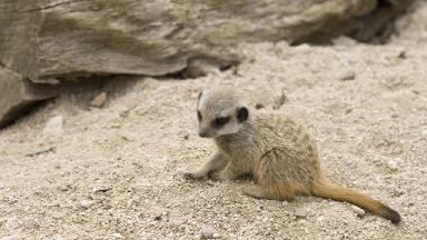A meerkat pup.