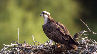Osprey chick: The new arrival has been closely guarded by its mum EJ.