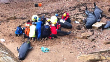 Pilot whales stranded on beach near Anstruther