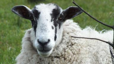 Sheep: Police are keen to trace owner of spaniel after attack (file pic).