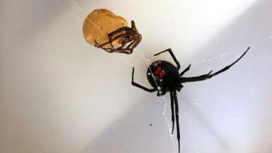 Black widow spider found in Aberdeen pic from Scottish SPCA SSPCA