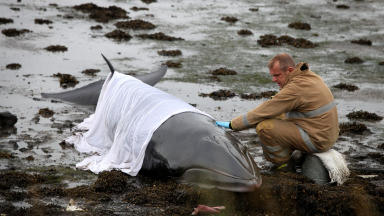 Minke whale stranded at Crombie Point near Torryburn, Fife on September 6, 2013.