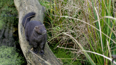 Cull: Almost 50 mink have been trapped since the project was launched.