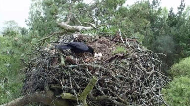 Crow steals one of Lady's eggs at Loch of Lowes wildlife reserve. Pic provided by Scottish Wildlife Trust.