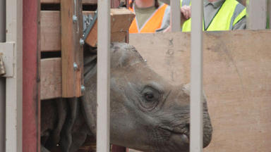New resident: Edinburgh Zoo's rhino