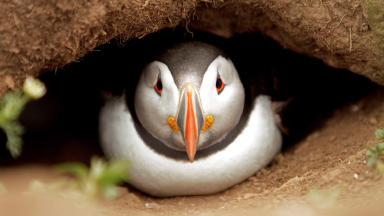 Quality image of a puffin in its burrow.
