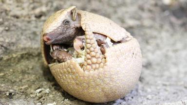 Rica the baby armadillo born at Edinburgh Zoo.