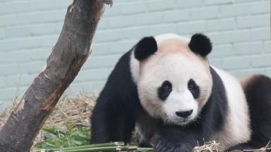Study: Yang Guang at Edinburgh Zoo.