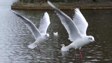 Gulls: Pilot scheme will be rolled out in Kirkcaldy (file pic).