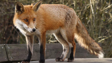 Generic image of a fox Creative Commons image from Wikipedia by jans canon quality news image