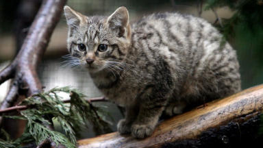 Wildcat: Bitter row breaks out over best way to save species.