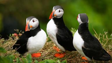 PUFFINS AT DUNNOTTAR CASTLE