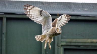 Wild return: Owl which was found on North Sea platform.