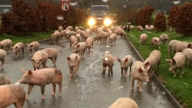 Pig escape: Tractor overturns in Aberdeenshire.