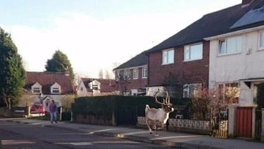 Bjorn the reindeer escaped from a Christmas event.