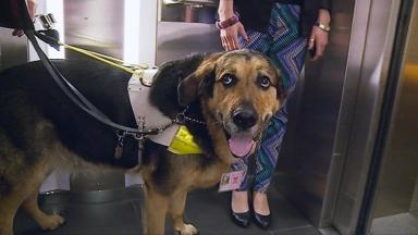 Mr Q: Holyrood guide dog to retire after 2016 election.