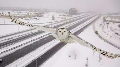Stunning images of snowy owl captured by traffic camera